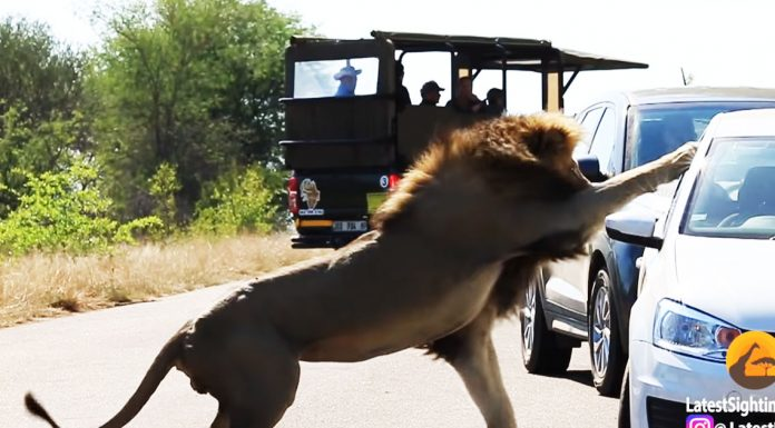 lion punches through window