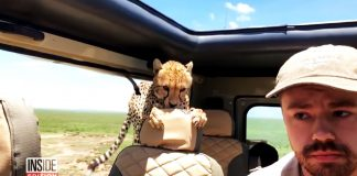 tourist encounters cheetah