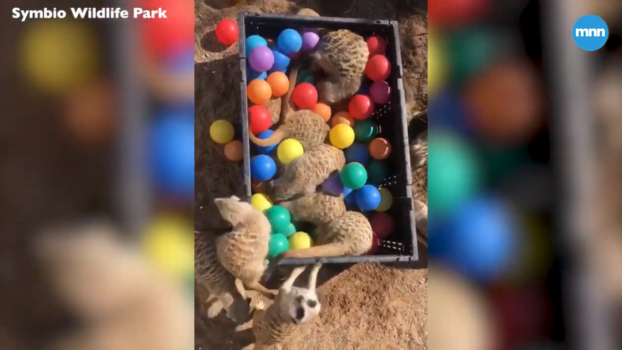 Meerkats at Symbio Wildlife Park in Australia are playing in a ball