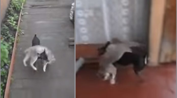 dog carries cat