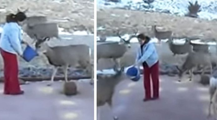 woman feeds deers
