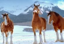 clydesdales-snowball