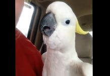 cockatoo-plays-peekaboo