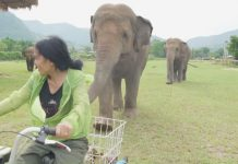 elephants follow bike