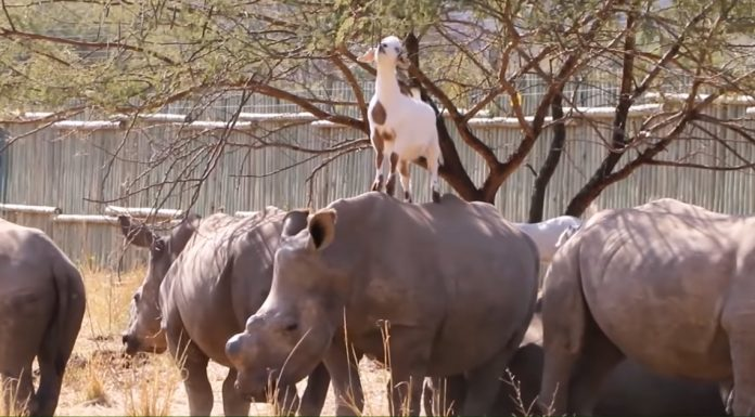 goats and rhinos