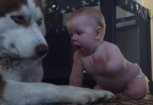 husky-baby-playing