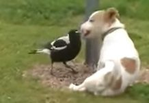magpie-and-dog