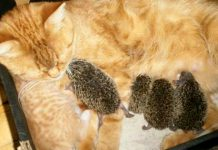 cat fosters hedgehogs