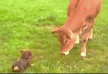 cow-meets-dog