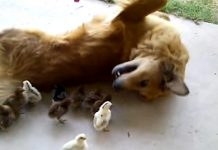 dog and chicks