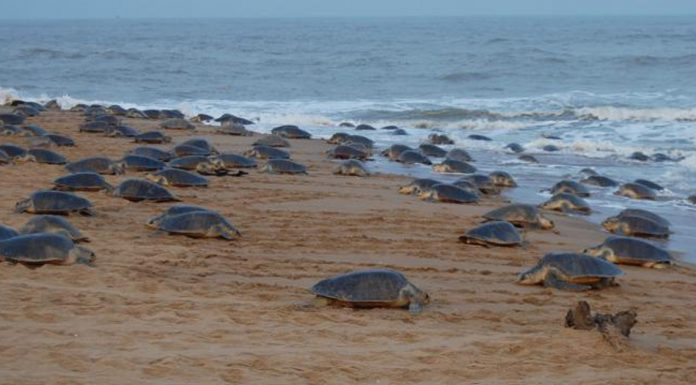 odisha sea turtles