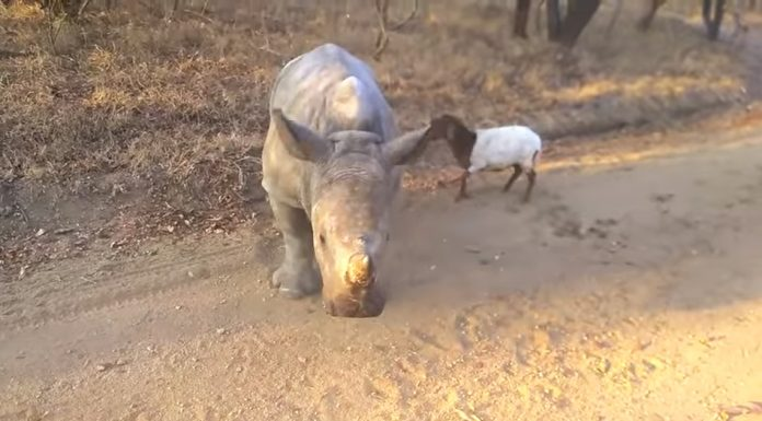 rhino and lamb friends
