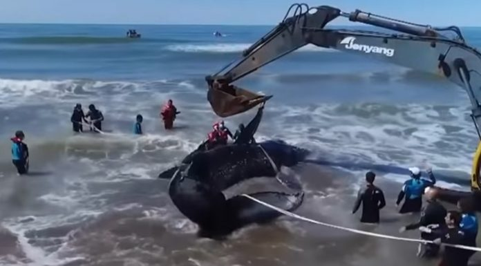 beached-whale-argentina
