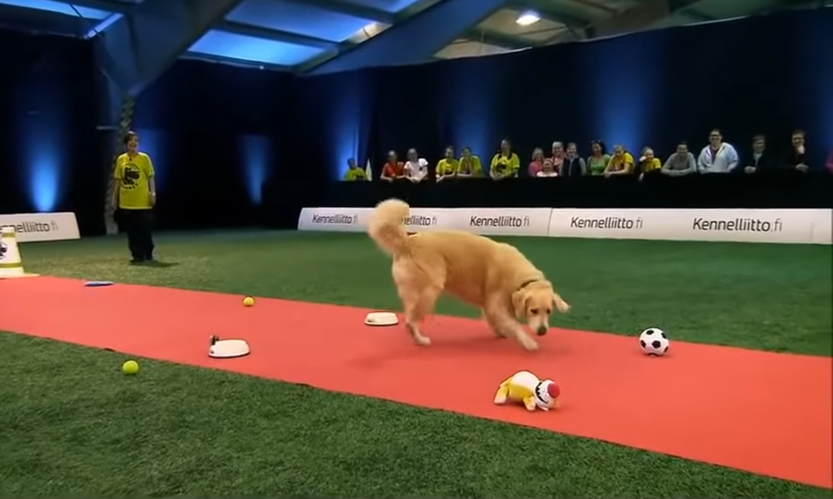 golden retriever competition
