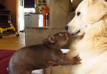 wombat and dog
