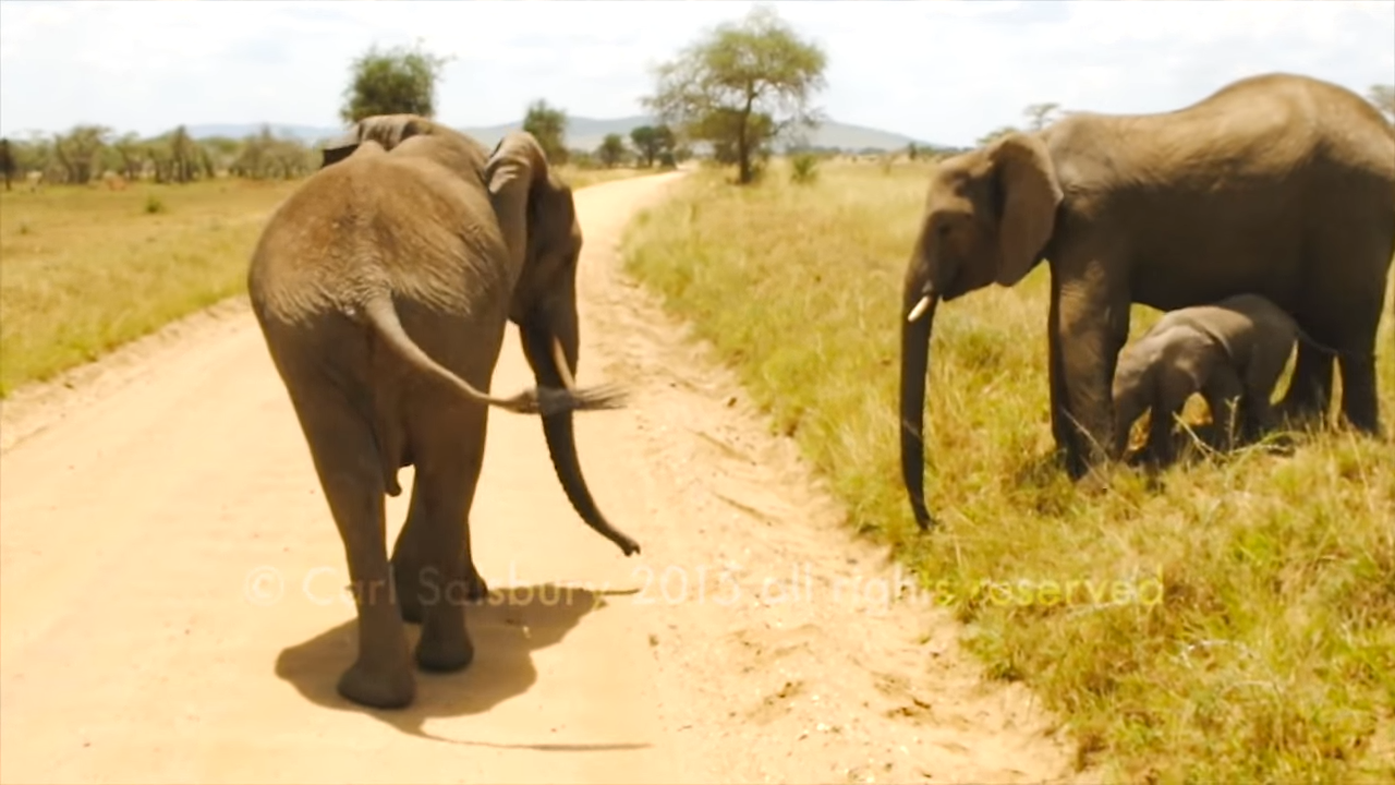 Cute Baby Elephant doesn't want to cross the road 0-47 screenshot
