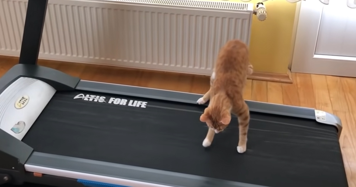 Cat Discovers His Owner's Treadmill- Pay Attention to His Hilarious Inspection