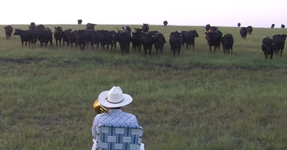 cows enjoying music