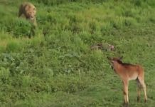 lion-calf-protect
