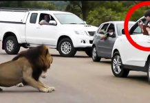 Lion scares away tourists