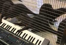 animals play piano