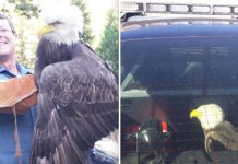 bald-eagle-rescue