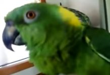 parrot-awesome-singer