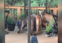 Man Films Group of Mountain Lions on Porch in Colorado