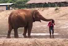 elephant-protective-of-owner