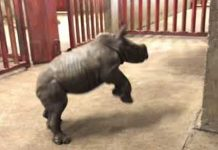 excited rhino