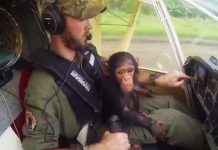 rescued chimp as copilot