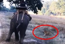 tiger attack elephant