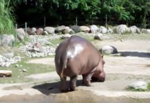 harry-the-farting-hippo-In-Water