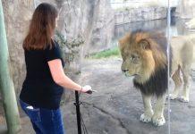 lion-human-closeness