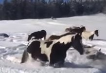 horses-play-in-snow