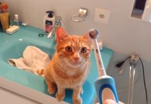 cat-and-electric-brush