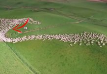 sheep-aerial-shoot