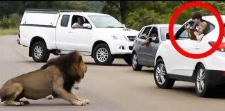 Lion-scares-away-tourists