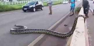 anaconda-cause-traffic-in-brazil
