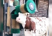 cow-getting-massage-by-brush
