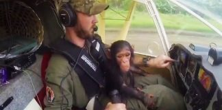 rescued-chimp-as-copilot