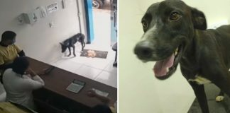 stray-dog-asks-for-help-in-clinic