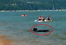 bear-and-her-cubs-in-lake-tahoe