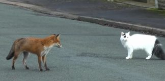 fox-and-cat-on-road