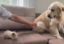 golden-retriever-meets-baby-kitten