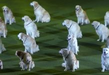 golden-retrievers-performance