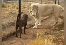 lion-and-dog-friendship