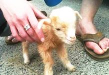 baby-goat-jumps