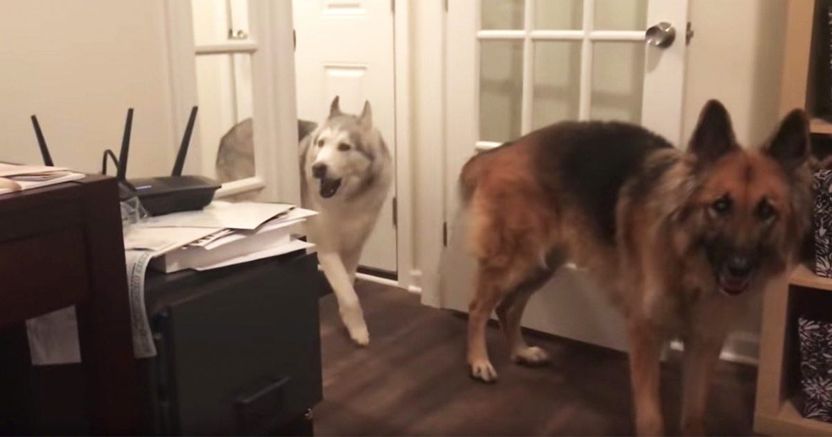complaining-husky-in-house