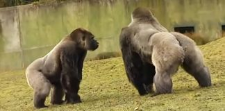 rare footage of gorilla in zoo